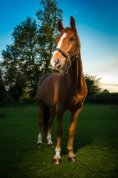 Equine-Portrait-Photography-Horse-images-by-Mark-In-Time-Photography-Northamptonshire-Towcester-Daventry
