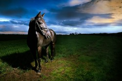 Black Horse at Sunset Equine Portrait Photography Northamptonshire